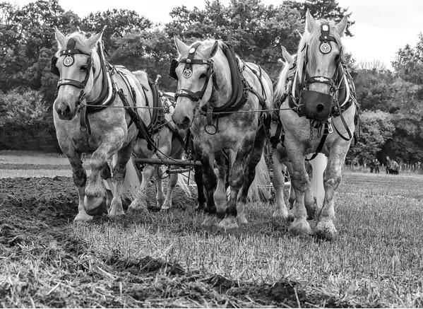 alan-rolfe-heavy-horses