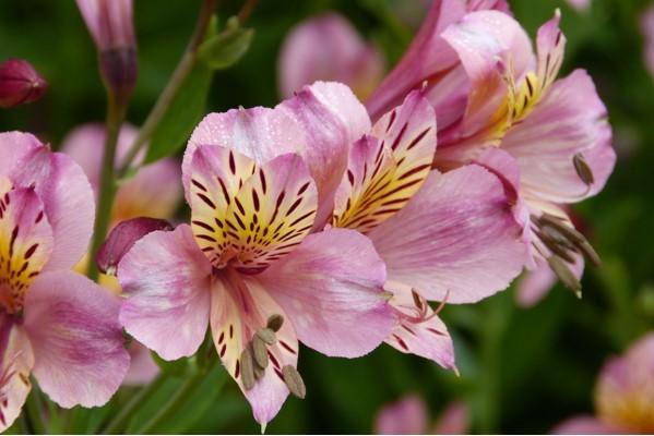 jim-p-pink-flowers